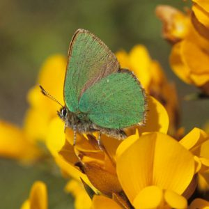 Green Hairstreak on Gorse
