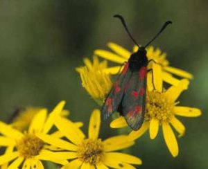Six-Spot Burnet on Ragwort