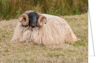 Black-faced ram