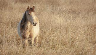 Connemara Pony Print