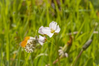 Orange Tip Butterfly Print